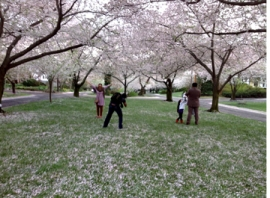 People in Kenwood, MD, viewing cherry blossoms
